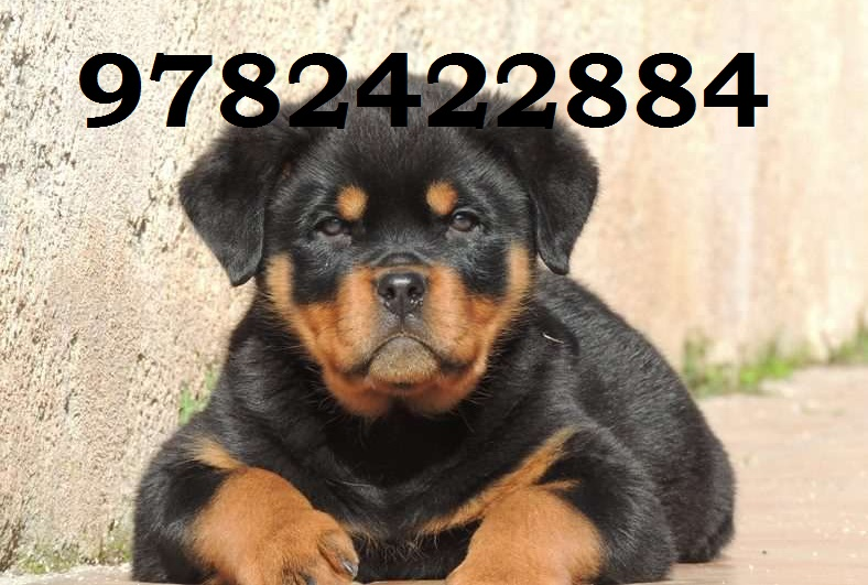 Mr Dog Online Pet Shop Dog Hostel Jaipur Puppies Sale